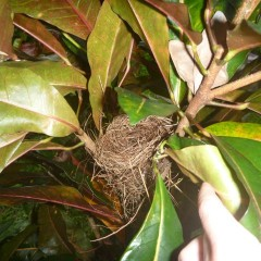 We put the nest back in the bush in hopes that the mama would come back to care for her babies.