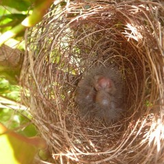 Then two babies!  They quickly grew and left the nest.  What a fun process this was to experience.