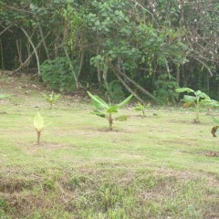 About 400 bananas planted, hundreds of yuca, dasheen, cacao